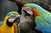A Pair Of Blue-and-yellow And Hariquin Macaw Facing Each Other With Lovely Action, Macaw Bird