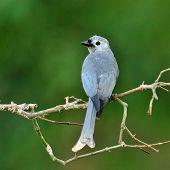 Ashy Drongo (dicrurus Leucphaeus) Bird With Nice Back Profile
