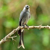 Ashy Drongo (dicrurus Leucphaeus) Nice Grey Bird Perching On The Pole