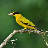 Black-naped Oriole, Beautiful Bright Yellow Bird (oriolus Chinensis) On Nice Branch