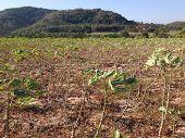 The Cassava Field In Thailand