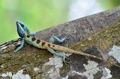 Full Body Of Blue Lizard On Tree With Green Blue Background, Lacerta Viridis