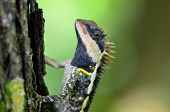 stock photo of lizards  - Greater spiny lizard Acanthosaura armata masked spiny lizard tree lizard acanthosaura crucigera boulenger little spiny lizard black face lizard - JPG