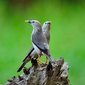 Lovely Birds With Pair Of Chestnut-tailed Starling (sturnus Malabaricus)