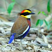 stock photo of belly-band  - Male of Banded Pitta  - JPG