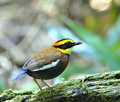 Male Of Banded Pitta Bird (pitta Guajana) Standing On The Mossy Log