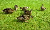 Ænder/Ducks