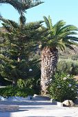 Palms, Greece.