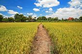 Way On Green Rice Field Against Blue Sky