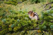Small Chipmunk Sitting On A Green Tree