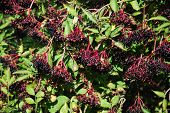 foto of elderberry  - Bush with growing ripe elderberries all over - JPG