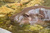 Small Hippopotamus