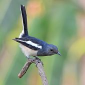 picture of robin bird  - beautiful black and white bird Oriental Magpie Robin  - JPG