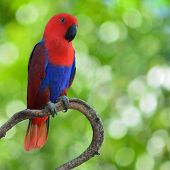 Chattering Lory Parrot