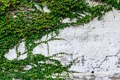 stock photo of climber plant  - Green plant climbing on old grunge wall - JPG