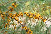 stock photo of sea-buckthorn  - Branch with berries of sea buckthorn and green leaves on a background - JPG
