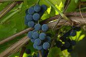 Bunch of wine grape