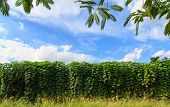 image of cassava  - Cassava plant in the farm against blue sky - JPG