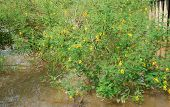 Sesbania Sesban Bush, Dien Dien Yellow Flower