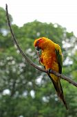 image of sun perch  - sun conure or sun parakeet or aratinga solstitialis - JPG