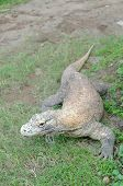 stock photo of monitor lizard  - The Komodo dragon  - JPG