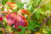 stock photo of creeper  - Red Virginia Creeper leaves and green Maple leaves under the tepid autumn sun - JPG
