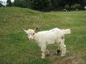 image of pygmy goat  - baby of african pygmy goat - JPG