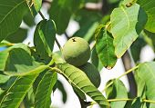foto of walnut-tree  - Walnut tree  - JPG