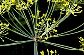 Fly On A Dill