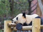 Smart Kind Panda