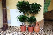 Green Dragon Tree In A Flowerpot And A Ceramic Jug