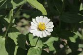 pic of zinnias  - Zinnia flower, Zinnia flower in full bloom.