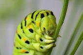 Caterpillar Head