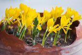 Golden Crocuses With Opened Flowers In Garden Pot