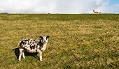 stock photo of dike  - A brown and white sheep standing on the and a white one on top of the dike - JPG