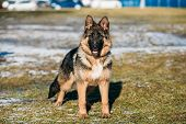 Beautiful Young Brown German Shepherd Puppy Dog Staying