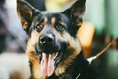 German Shepherd Dog Indoor Portrait
