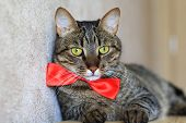 cat in bow tie