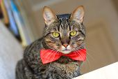 image of yellow tabby  - tabby cat with yellow eyes wearing red bow tie  - JPG
