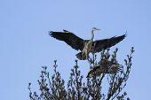 Gray Heron  In Treetop