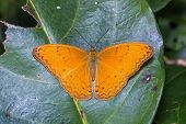 Common Yeoman Butterfly