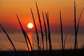 Dune Grass Silhouette