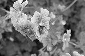 stock photo of geranium  - A honey bee uses its proboscis to take nectar from a geranium flower  - JPG