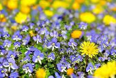 Blue And Yellow Wildflowers