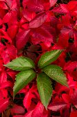 picture of ivy vine  - A green vine leaf against red vine leaves - JPG