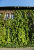 picture of ivy vine  - Abandoned house covered in ivy vines  - JPG