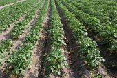 pic of century plant  - Potato plants on a field set in rows.