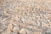 Rice stubble and dry soil