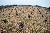 Old Vineyard On Stony Ground