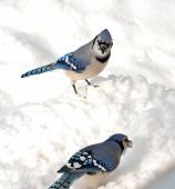 picture of blue jay  - Blue jay looking at another with a peanut standing on the snow - JPG